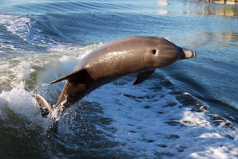 atlantic-bottlenose-dolphin