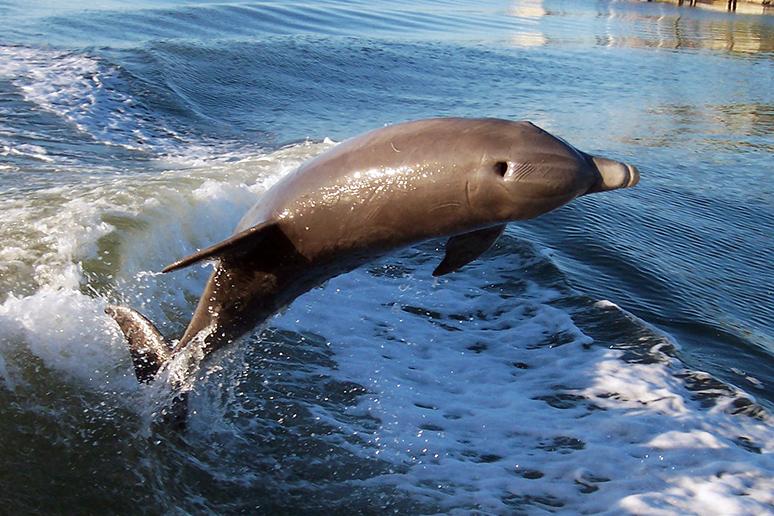 atlantic-bottlenose-dolphin