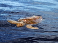 sea-turtle-clearwater-florida